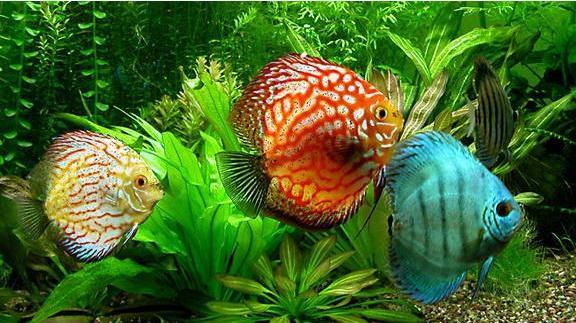 七彩神仙鱼品种及风水应用